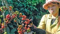 Robusta coffee gains as Vietnam exports set to drop