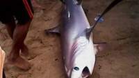 200-kilogram shark appears in central Vietnam's coast