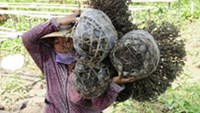 Slow economy leaves Vietnamese flower farmers withering