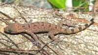 New species of lizard found in Southern Vietnam