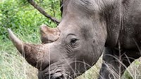 Vietnamese arrested in Mozambique for smuggling rhino horns