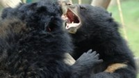 This picture taken on March 14, 2012 shows a bears playing at Tam Dao Bear Rescue Center run by Animals Asia, inside Tam Dao National Park.