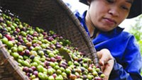 Nedcoffee sees Vietnamese coffee output sliding 14 pct in 2012-13