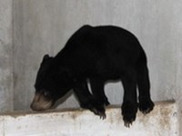 Sun bear rescued from illegal trade in central Vietnam