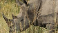 South Africa backs proposal to legalize rhino horn trade