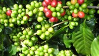 Vietnam plans to expand arabica area, double output by 2020
