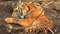 A graphic video shows the last hours of a rare Sumatran tiger as it writhes in a trap in Indonesia. Greenpeace activists say it exposes the gruesome toll of rampant rainforest clearing.