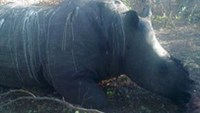 A killed rhino whose horn had been cut off in Gwayi reserve in Zimbabwe