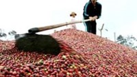 Vietnam coffee harvest may drop 30 pct on drought, producers say