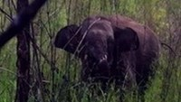 Wild elephant found trapped in Vietnam's Central Highlands