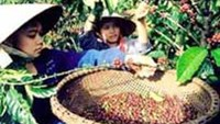 Vietnam coffee supply may tighten after farmers sell 90 pct of crop