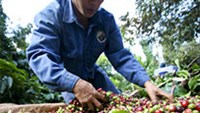 Coffee farmers in Vietnam to maintain output even as prices drop