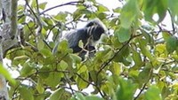 Vietnam langurs losing homes, life to cement industry