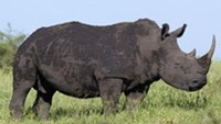 A rhino at Kruger National Park in South Africa