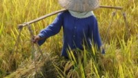 Vietnam has been collaborating with the International Rice Research Institute since 1963.