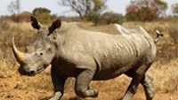 Rhino horn poaching hits new record in South Africa