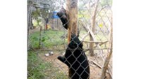 The two moon bears kept in a cage in Thanh Hoa Province's Xuan Lien Nature Reserve / PHOTO COURTESY OF VNEXPRESS
