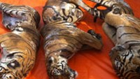 Tiger carcasses seized by Nghe An traffic police on Monday. Photo: AFP