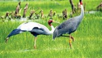 The Tram Chim National Park in Dong Thap Province is home to the Sarus crane.