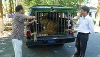 The 170-kilogram tiger being taken to a car heading for Soc Son Wildlife Rescue Center Tuesday (Photo: Dan Tri)