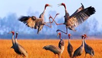 Sarus cranes at the Tram Chim National Park