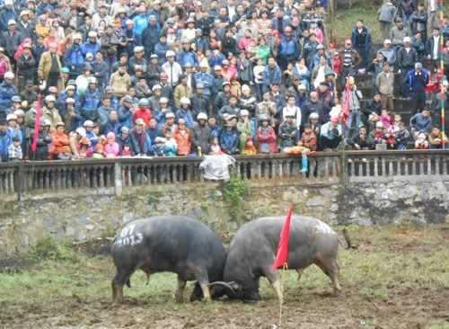 Buffaloes fight in northern Vietnam festival