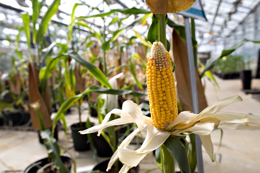 Corn plants grow in a greenhouse at the Monsanto Chesterfield Village facility in Missouri, US. Photo credit: Bloomberg