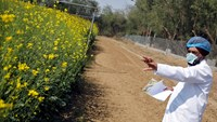 An Indian scientist points to a patch of genetically modified (GM) rapeseed crop under trial in New Delhi February 13, 2015. Photo credit: Reuters