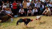 A cockfight in southern Vietnam. Gambling on cockfights is illegal in Vietnam. File photo.