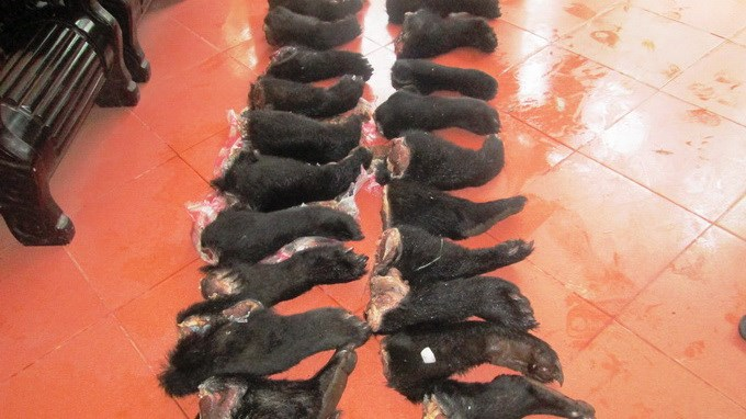 22 bear limbs were seized by Vinh police on August 27. Photo provided by the police.