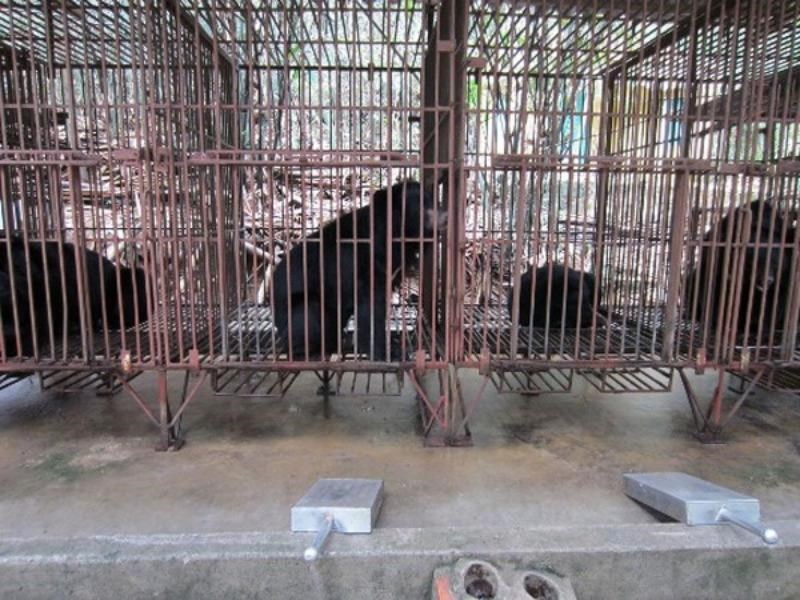 An undated file photo shows bears at a bear bile farm in Ha Long Bay. Vietnamese authorities have successfully shut down bear bile tourism at the popular tourist site.