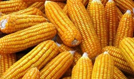 Vietnam approves two more GM corn strains