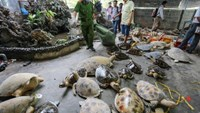 Thousands of sea turtles were found in a warehouse in Nha Trang on November 26, 2014. Photo courtesy of Lao Dong.