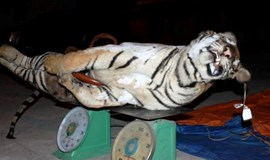 Frozen tiger carcass seized in central Vietnam