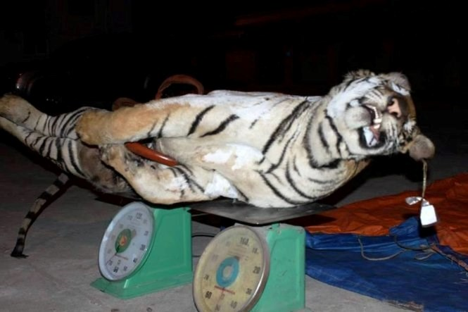 Nghe An police discover a 120-kilo in weight tiger which was transported in a truck to the north on Monday afternoon. Photo: DH