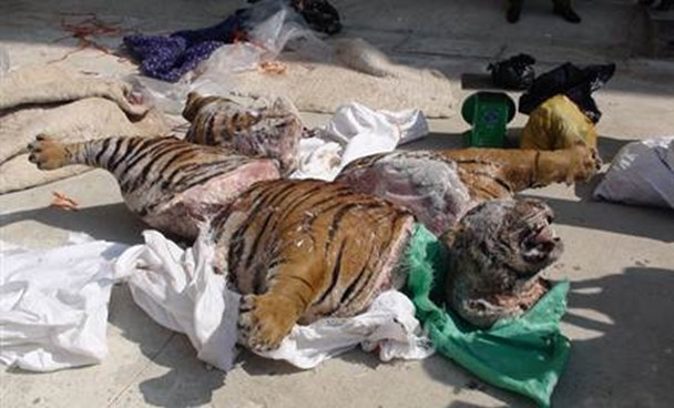 Owner of frozen tiger carcass found