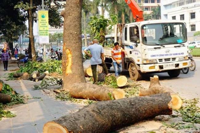 More than 500 green trees have been chopped down in Hanoi in recent days, sparking public outrage. Photo: Ngoc Thang