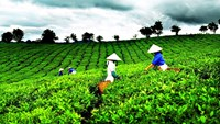 Workers at a tea farm in Lam Dong Province, Vietnam. File photo.
