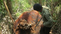 A ranger inspects a tree which has been cut down in a forest in Gia Lai Province. Photo credit: Tuoi Tre