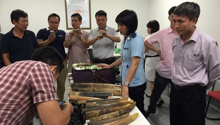 More than 50 pieces of animal products, suspected to be rhino horns and elaphant tusks, are seized  at Noi Bai airport, Hanoi, on Wednesday night. Photo credit: Tien Phong.