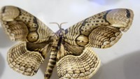 An owl moth is displayed at the Vietnam National Museum of Nature Photo credit: VnExpress.