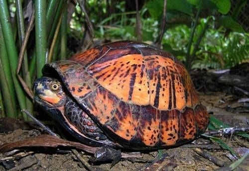 A file photo shows an Indochinese box turtle, an endangered species