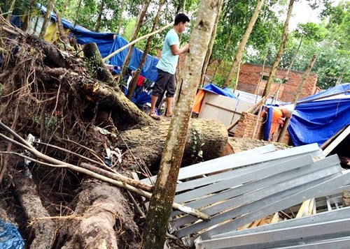 The scene of an incident in which fierce winds uproots an 11-meter-high tree in Phu Quoc. Photo credit: Nguoi Lao Dong