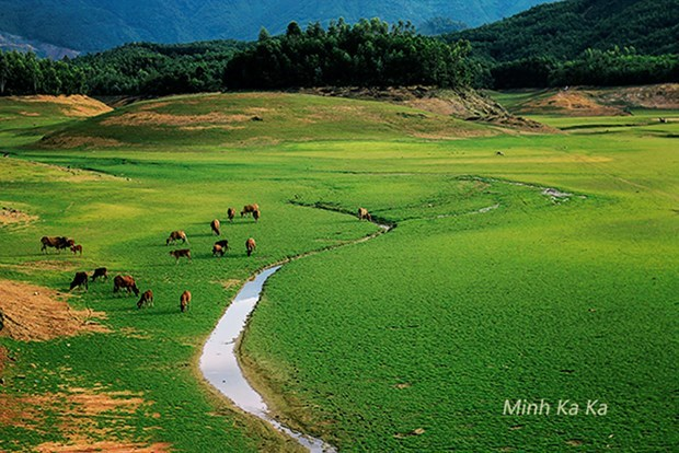 A herd of cows grazing grass in the Hoa Trung lakebed in Da Nang City. Photos: Minh Ka Ka