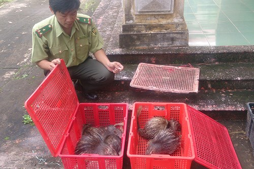 A forest ranger in Quang Tri Province checks the smuggled animals. Photo credit: Hoang Tao/ VnExpress