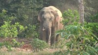 The elephant was reportedly straying into residential and farming areas. Photo credit: VnExpress.
