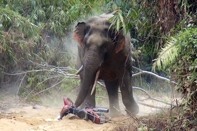 A male elephant destroys a motorbike in Dong Nai Province on April 11, 2016. Photo credit: Nguyen Hieu/Tuoi Tre
