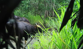 Endangered gaurs caught on camera in Central Highlands