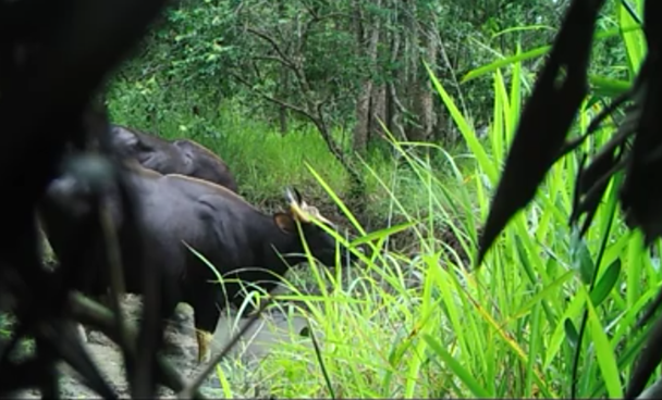 A small herd of guars, including 3 adults and a baby guar, seen drinking water from a stream in Ea So Nature Conservation Zone, Dak Lak Province.