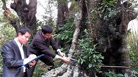 Ancient persimmon trees recognized as Vietnam heritage